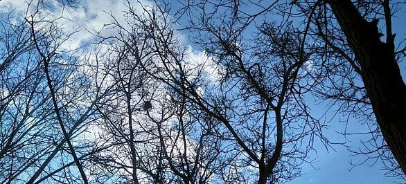 درختان گردو و لانه کلاغ